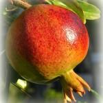 """Der """"Granatapfel"""""""