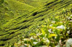 """Beispiel einer Plantage, in der """"grüner Tee"""" angebaut wird!"""