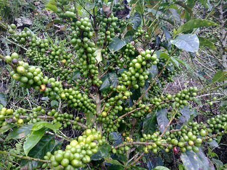 """Kaffeepflanze des """"grünen"""" und """"schwarzen"""" Kaffee!"""
